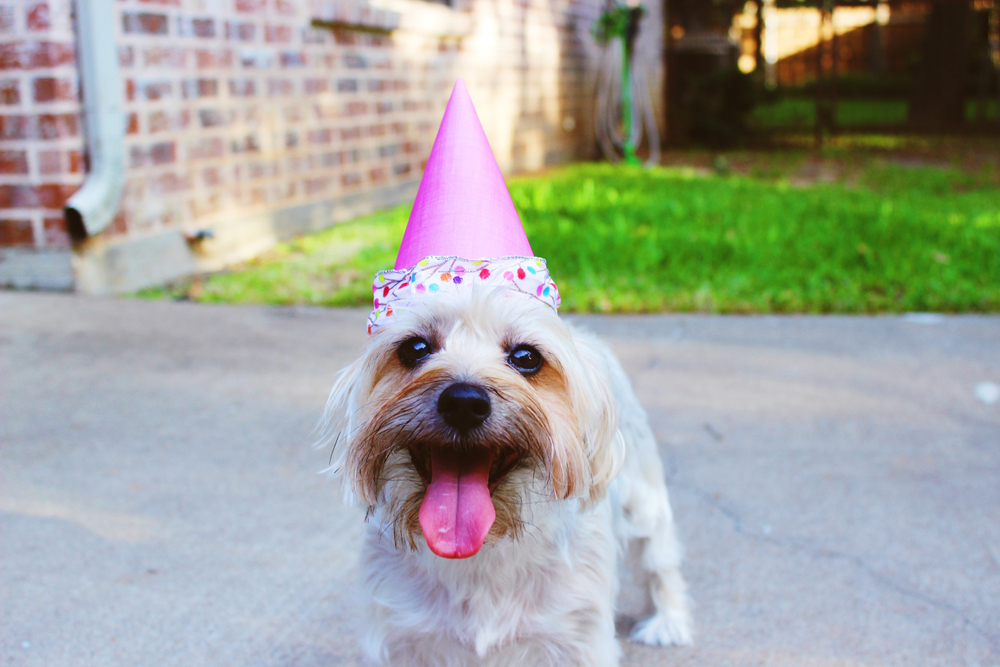 1 year old dog in birthday hat